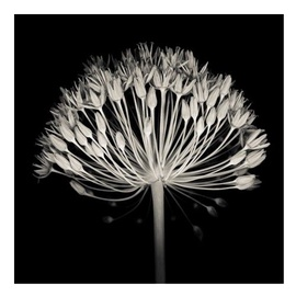 Home4you Print Picture Nature 40x40cm Black&White Flower 77812