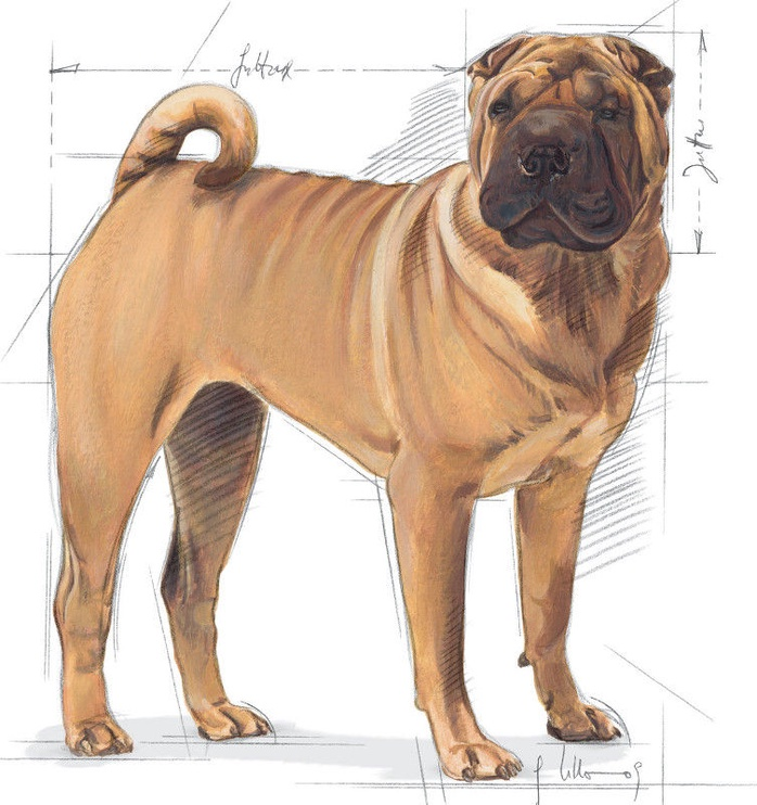 Royal Canin SHN Medium Dermacomfort 10kg