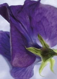Fototapeet 4-711 Viola, 184x254 cm