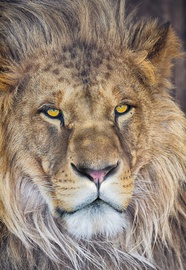 FOTOTAPETE 1-619 LION NG 127X184CM