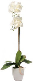 Home4you White Orchid 1 Double Knotted H75cm