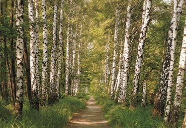 Fototapetai Sunny decor Birkenwald, 98301, 368 x 254 cm