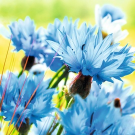 Herlitz Napkins Cornflower