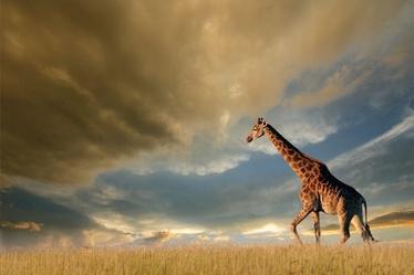 Signal Meble Giraffe Glass Painting 120x80cm