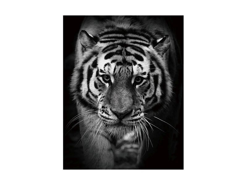 Signal Meble Tiger Glass Painting 80x120cm