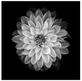 Home4you Print Picture Nature 40x40cm Black&White Flower 77811