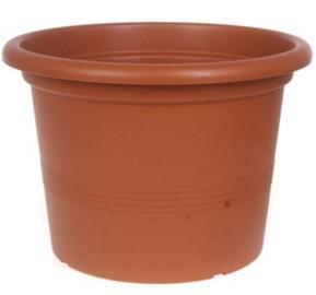 Verners Campanula 40cm Light Brown