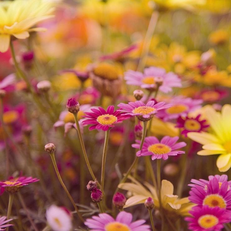 Audinių minkštiklis Lenor Wild Flower, 1500 ml