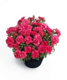 Gėlė vazone daugiametis gvazdikas, D12 H30 cm