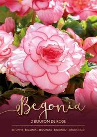BEGONIJAS BOUTON DE ROSE SARK/BALTAS 4/5