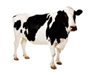 Для крупного рогатого скота