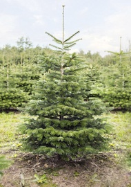 Jõulupuu Nordmann Premium 150-175cm