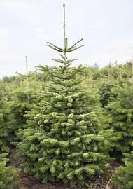 Jõulupuu Nordmann Premium 175-200cm