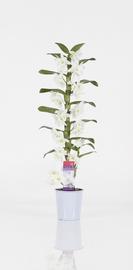 Orhidee väärisdendroobium P12