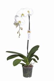 Orhidee Yukidian P15, 100+cm