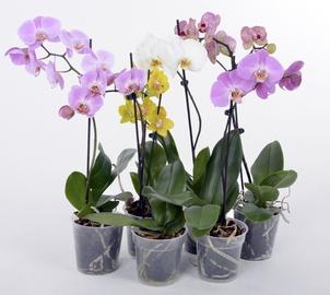 Orhidee Mix 12