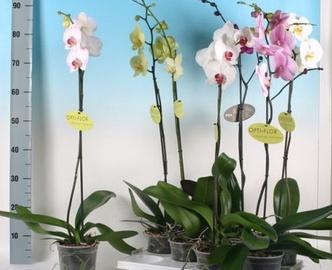 Orhidee Mix,  P12