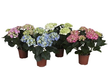 Hortensia MIX P12
