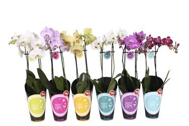 Orhidee More Lips, 2-õievart P12