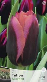 Lillesibul tulp Muvota, 7tk