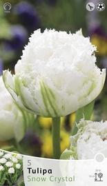 Lillesibul tulp Snow Christal, 5tk