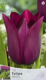 Lillesibul tulp Merlot, 10tk