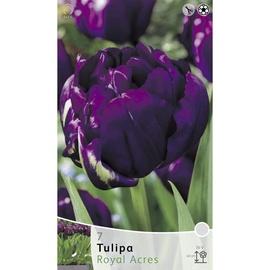 Lillesibul tulp Royal Acres, 7tk