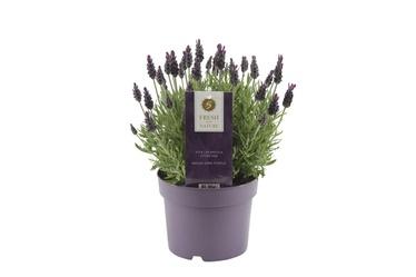 Lavendel ANOUK P17