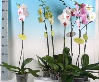 PHALAENOPSIS XL MIX 1-SP